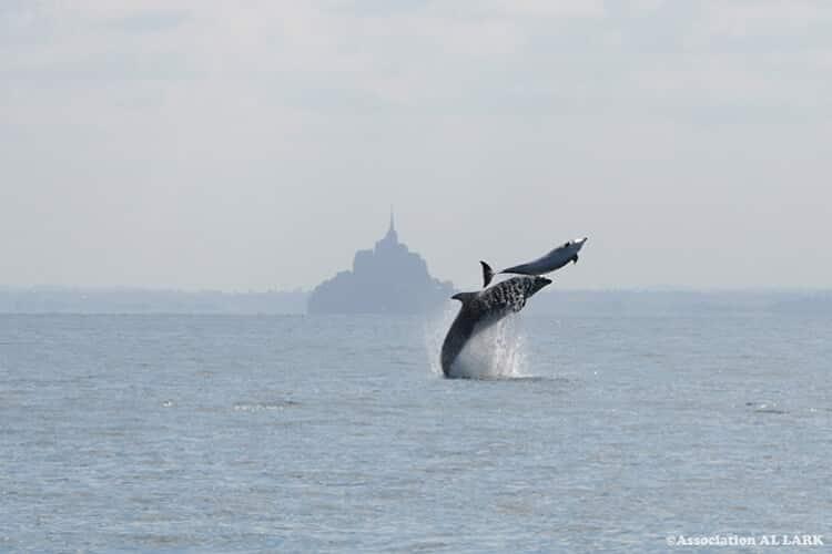 Les dauphins dans la baie du mont saint michel