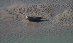 Les phoques de la Baie du Mont-Saint-Michel