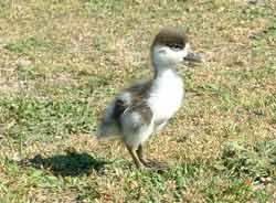 Un jeune tadorne dans la baie