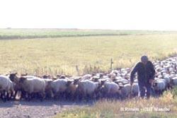 Un berger menant son troupeau de moutons sur les herbus