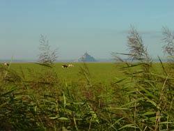 La roselière à Genêts en Baie du Mont-Saint-Michel
