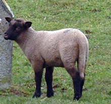 l'agneau de pré-salé en Baie du Mont-Saint-Michel